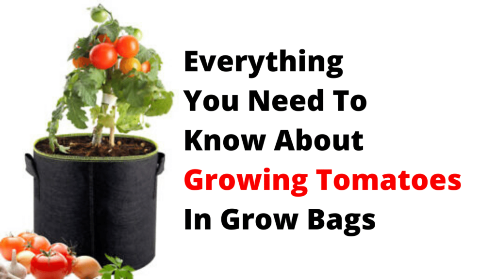 Everything You Need To Know About Growing Tomatoes In Grow Bags